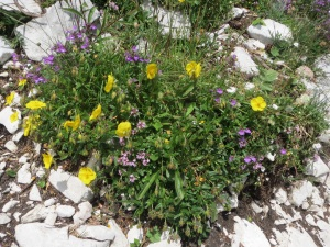 Alpine flowers of Bohinj