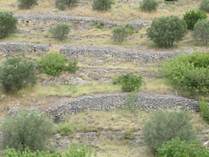 Stone walls around olive groves