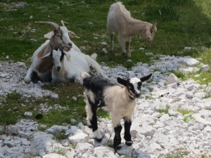 Real mountain goats
