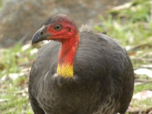 brush-turkey-alectura-lathami-1619437