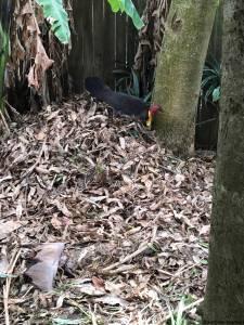 Brush turkey nest