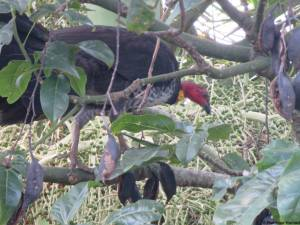 Female Brush Turkey in Illawarra Flame tree