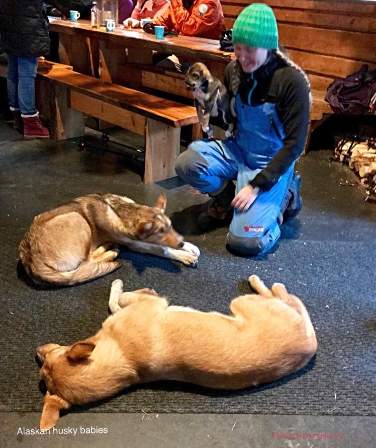 Alaskan puppies