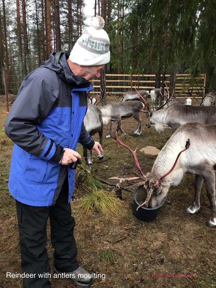 Reindeer antlers moulting