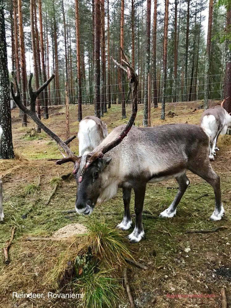 Reindeer, Rovaniemi